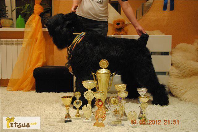 Фото 3/5. Русский Черный Терьер - Высокопородные щенки