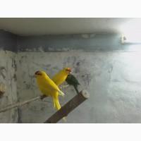 Какарик (Новозеландский краснолобый попугай)