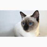 Тайский породный кот из питомника Royal Symphony