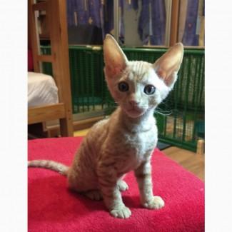 Милый котёнок-девочка ( метис донского и канадского сфинкса) браш ищет любящих хозяев)