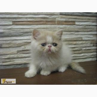 Экзоты кот из питомника Fluffycat
