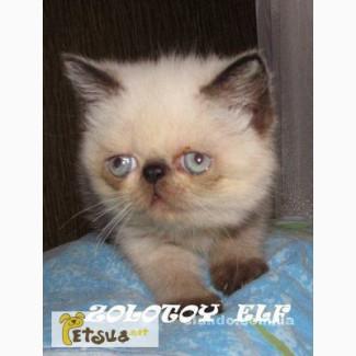 Персидские, экзотические короткошерстные котята