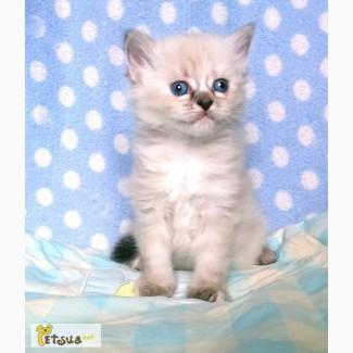 Невские маскарадые котята