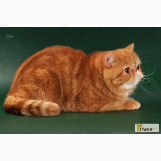 Чистокровные котята экзота и перса