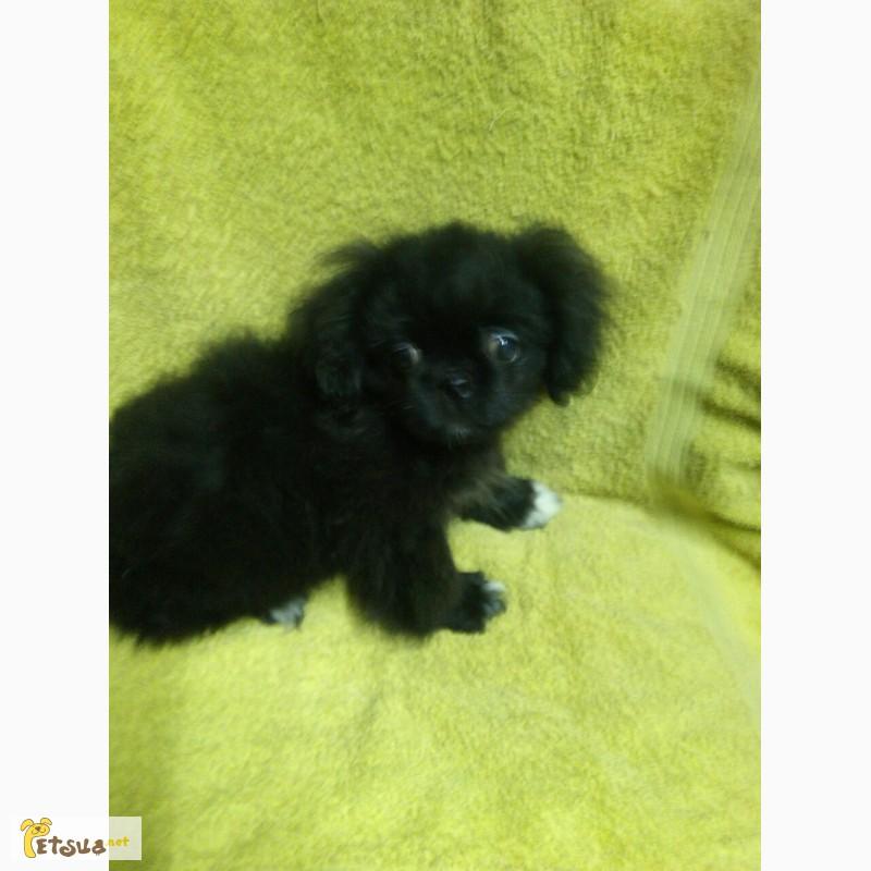 щенок пекинеса черного окраса фото вот третьего