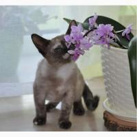 Бурма яркая девочка, бурманские котята
