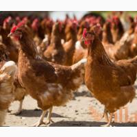 Курячі інкубаційні яйця Шейвер Браун