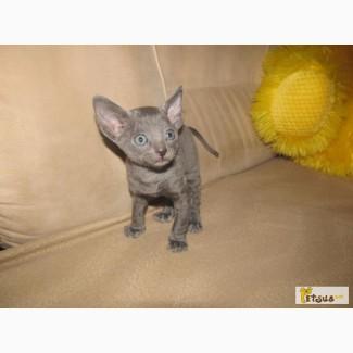 Котёнок Корниш Рекс