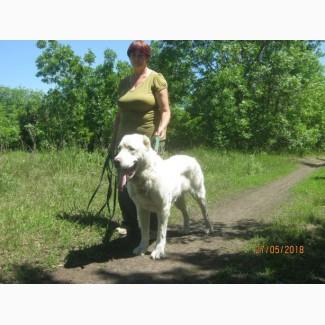 Продам взрослую собаку(Харьков) - алабай