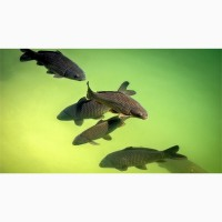 Рыбопосадковый материал