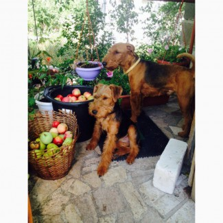 Продаются щенки Вельштерьера. Киев. Возраст 2 месяца