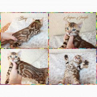Бенгальские котята.Официальный питомник
