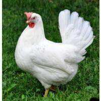 Курячі інкубаційні яйця Легорн