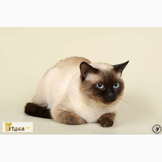 Тайский кот - вязка