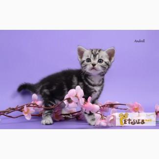 Американские короткошерстные котята