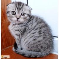 Актуально! Невероятно активный и игривый котенок породы Scottish Fold вискасного окраса