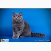 Подрощенный британский короткошерстный котенок