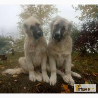 Продаются подрощенные щенки кавказской овчарки(мальчики), 5мес