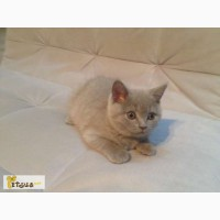Шотландский лиловый котенок мальчик скоттиш страйт (scottish straight)