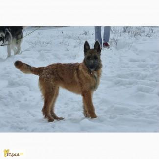 Продам щенка Лакенуа - жесткошерстной бельгийской овчарки