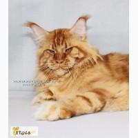 Мейн-кун чистопородные котята от привозных производителей