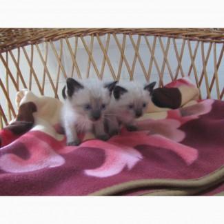 Сіамські кошенята