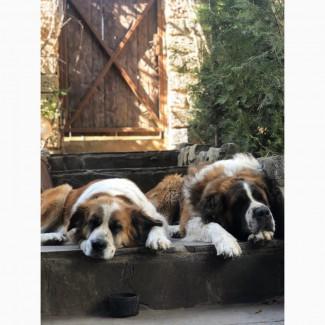 Продам подрощенных щенков Московской сторожевой (Moscow Watchdog) от хороших родителей
