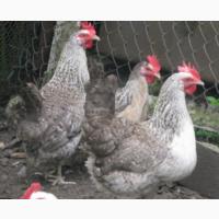 Курячі інкубаційні яйця Борківська Барвиста