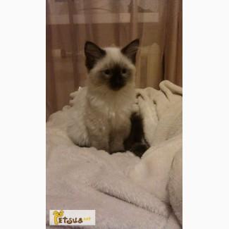 Котенок балинез