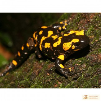 Огненая саламандра, м.Берестейское