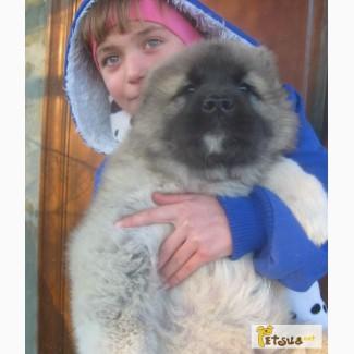 Элитные щенки кавказской овчарки от Чемпионов из России