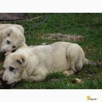 Шикарные щенки Алабая