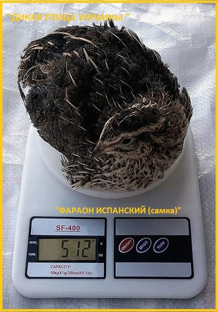 Яйца инкубационные перепела Фараон (селекция Испании)