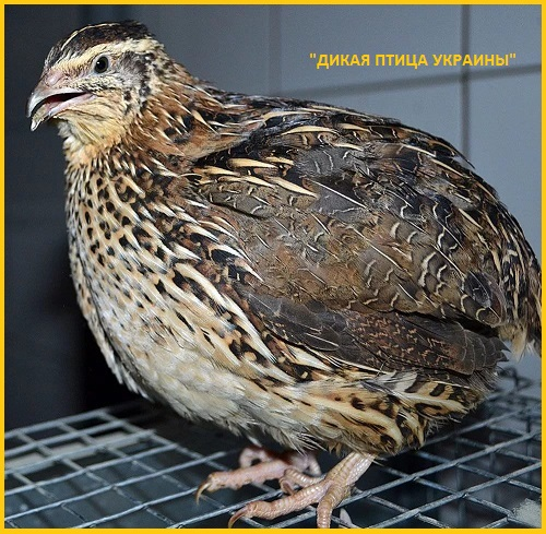 Фото 2. Яйца инкубационные перепела Фараон (селекция Испании)