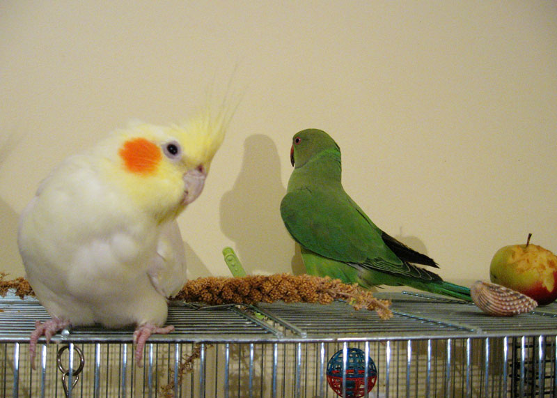 Фото 3/4. Приму за символическую сумму или в дар среднего или большого попугайчика