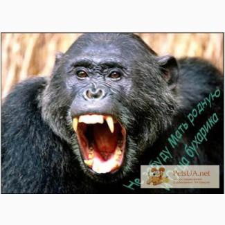 Продаю обезъяну гориллу