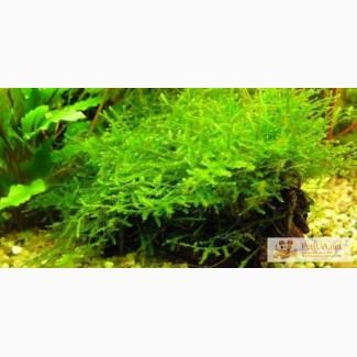 Яванский мох (Vesicularia dubyana)