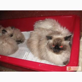 Гималайская кошечка на фото продаю