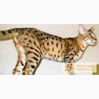 Продам кота, порода Саванна