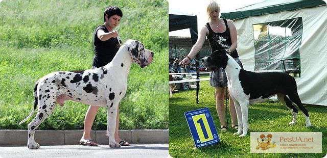 Фото 1/1. Продаются щенки немецкого дога.