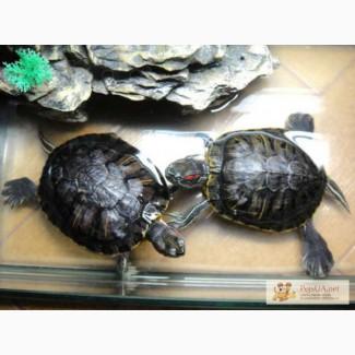 Продам черепах + аквариум (60х30х40) красноухие