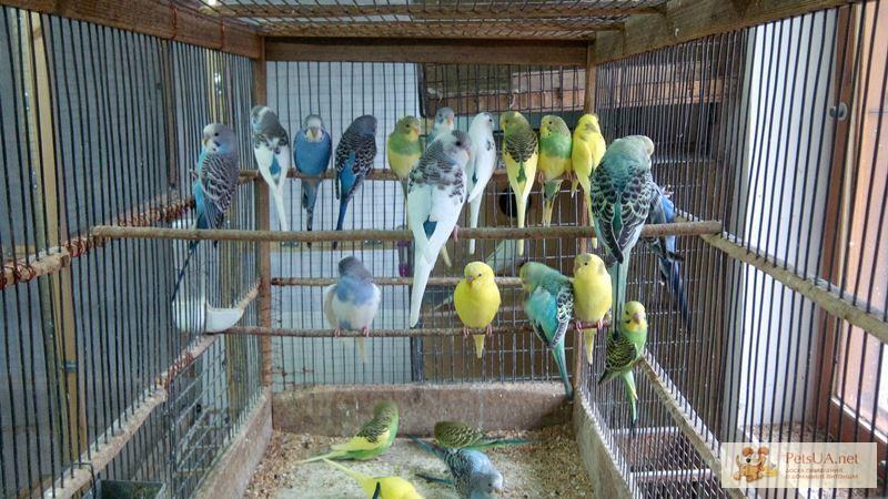 Фото 3/10. Волнистые попугайчики