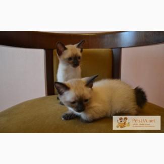 Ищем хозяев для двух котят меконгского бобтейла (самка и самец) окрас сил-поинт