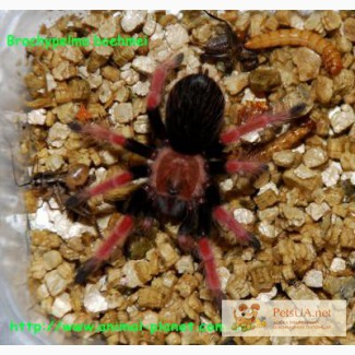 Гигантский паук птицеед, тарантул