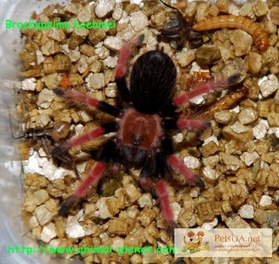 Фото 1/1. Гигантский паук птицеед, тарантул