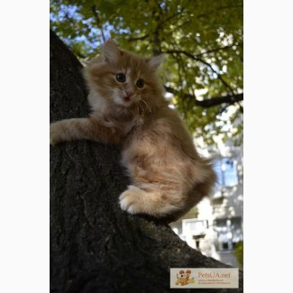 Курильский бобтейл-котята