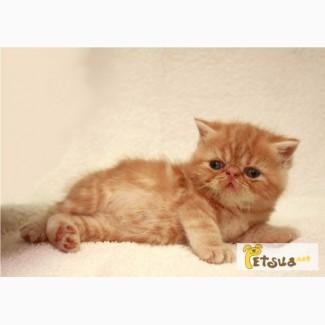 ЭКЗОТИЧЕСКИЕ короткошерстные котята. Открываем резерв