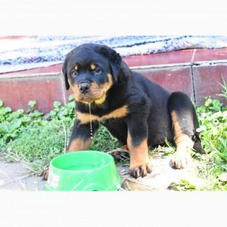 Продам щенков Ротвейлера от титулованных родителей