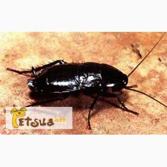 Куплю черные тараканы