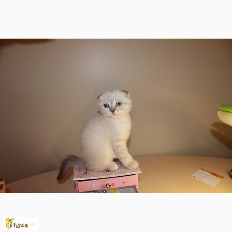 Шотландские вислоухие плюшевые котята